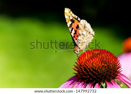 Close-up of Painted Lady butterfly on Purple Coneflower. Front view. - stock photo