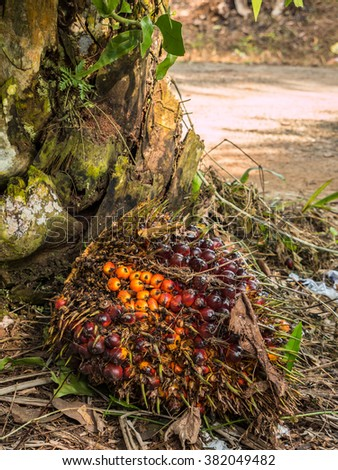 Close up of Palm Oil fruits on the plantation floor. - stock photo