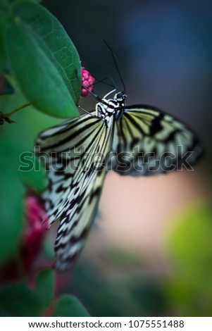 Close Up of Paper Kite (Idea leuconoe) Butterfly native to Asia