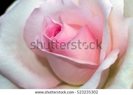 Close-up of pastel rose flower. Macro photography of nature.