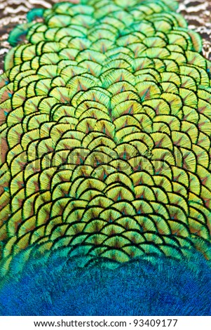 close up of peacock body feathers. Animal background in vertical composition. - stock photo