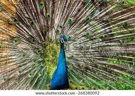 Close up of peacock showing its beautiful feathers - stock photo