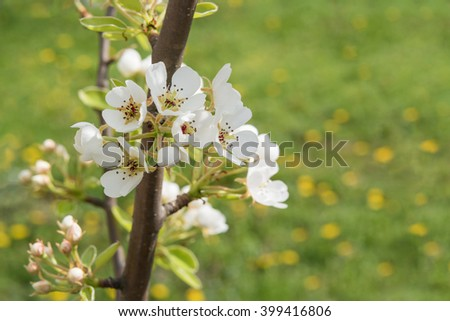 Close up of pear tree branch with flowers, selective focus, horizontal shot - stock photo