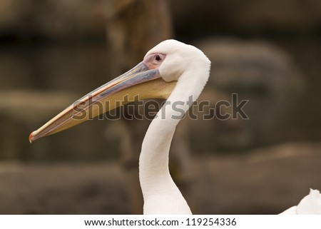 Close up of pelican - stock photo