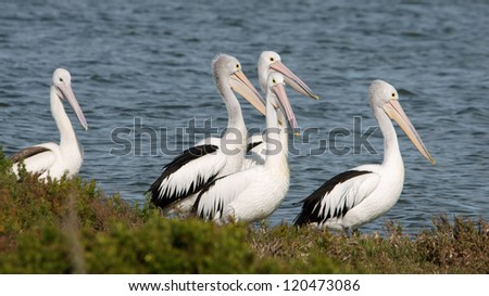 Close up of pelicans in Coorong lagoon, Australia - stock photo
