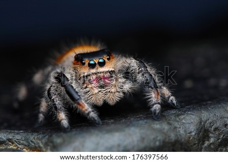 Close up of Phidippus regius jumping spider on the dark background