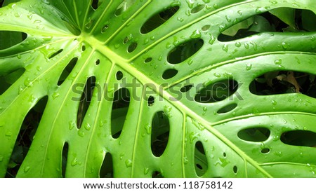 close up of philodendron leaf with rain drops