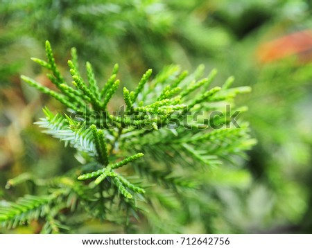 Close up of pine trees.