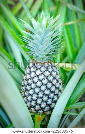 Close up of pineapple tropical fruit, selective focus.