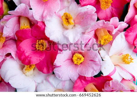 Close up of pink and white camellia flowers