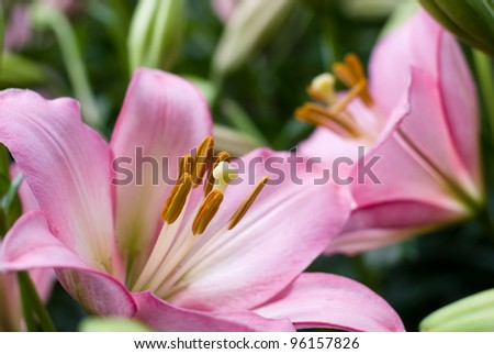 Close up of pink asiatic lily in flower garden - stock photo