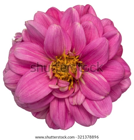 Close-up of pink aster with yellow core isolated on white background.