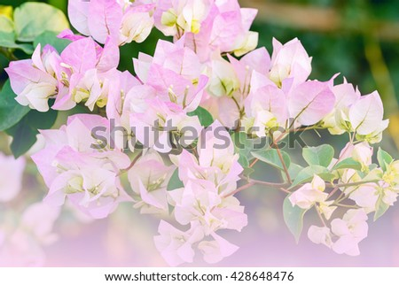 Close up of pink Bougainvillea or paper flowers blossom - stock photo