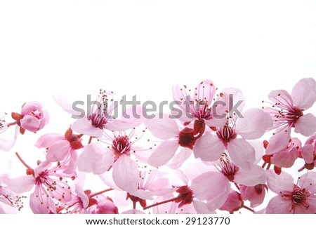 Close-up of pink cherry flowers against white background