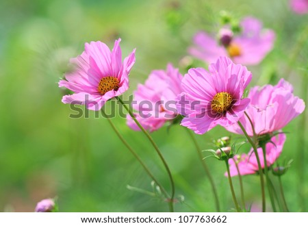 Close-up of pink cosmos flower - stock photo