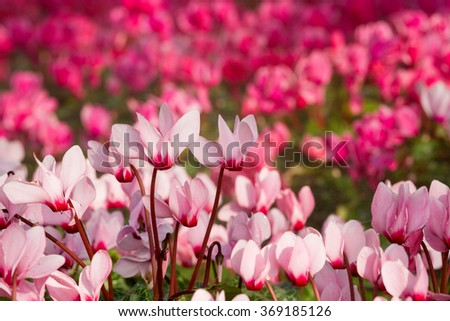 Close up of pink cyclamen flowers blossom in flower garden