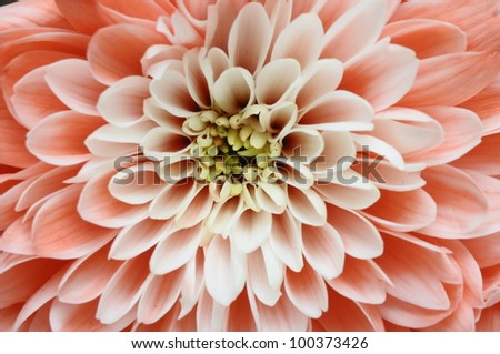 Close up of pink flower : aster with pink petals and yellow heart for background or texture - stock photo