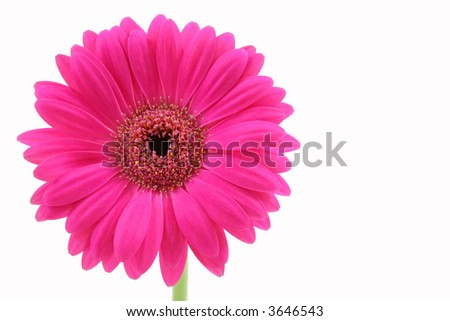 Close-up of pink flower isolated on white