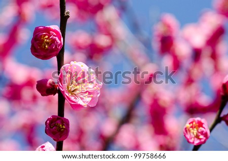 Close up of pink japanese apricot blossoms - stock photo