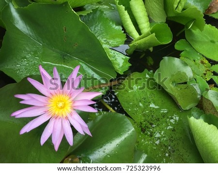 Close up of pink-purple waterlily in the left bottom corner with green leaves in the background