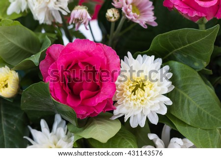 Close up of pink rose bloom  in nature background - stock photo