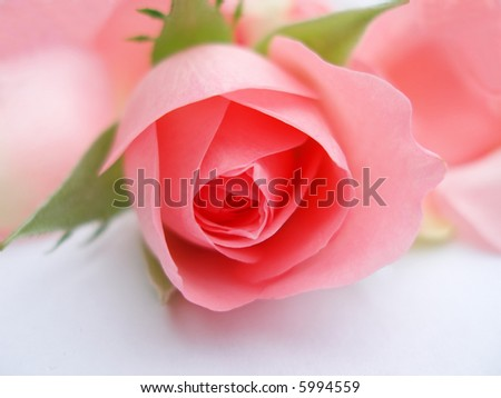 Close-up of pink rose flower against white background - stock photo