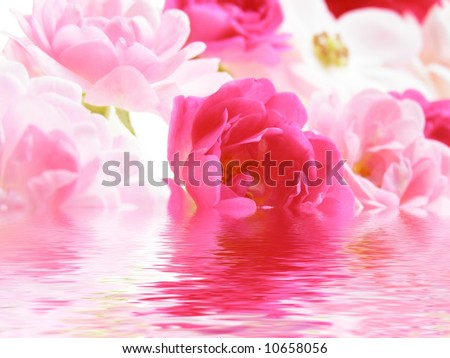 Close-up of pink rose flowers reflected in water