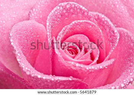Close up of pink rose petails covered dew - stock photo