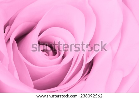 close up of pink rose petals - stock photo