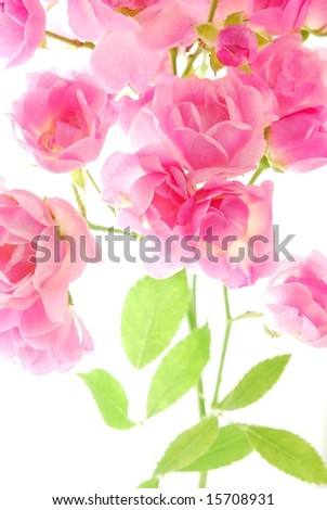 Close-up of pink roses against white background - stock photo