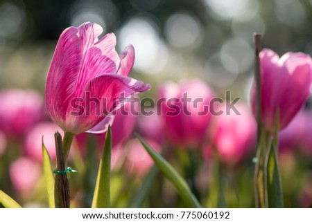 Close up of pink tulips growing in a park with selective focus.