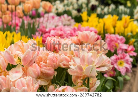 Close up of Pink tulips in the spring garden. Shallow DOF. - stock photo