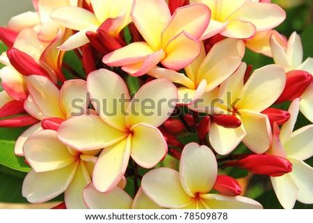 Close up of plumeria flowers - stock photo