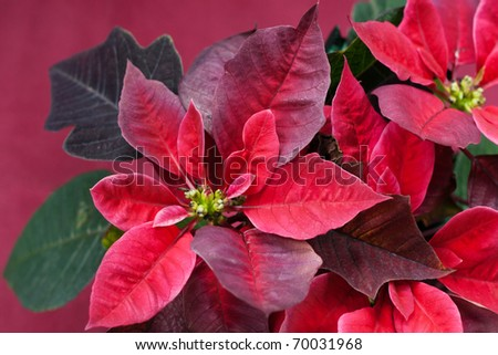 Close up of poinsettia, decorative plant known as Christmas Star - stock photo