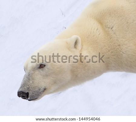 Close up of polar bear in Canada - stock photo