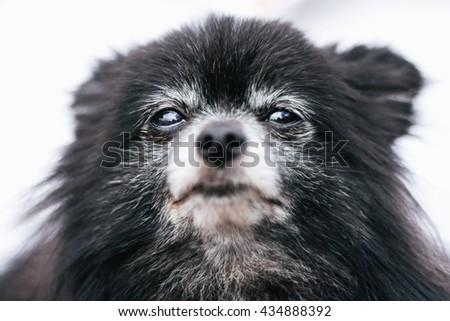 Close up of Pomeranian dog staring toward camera. - stock photo