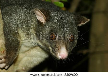 Close up of Possum - stock photo