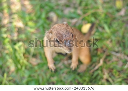Close-up of Prairie Dog, Cynomys sp. - stock photo