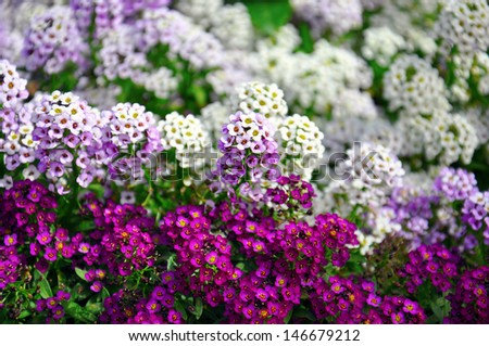 annual flowers stock images, royaltyfree images  vectors, Beautiful flower