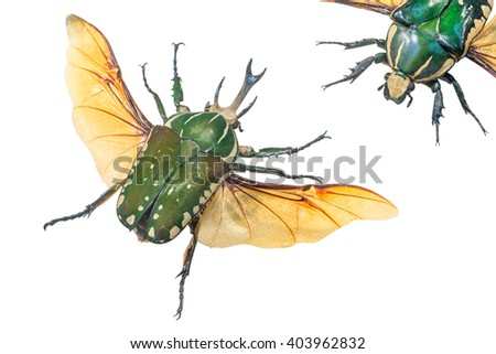 close-up of Pronghorn Beetle (lat. Chelorrhina polyphemus), Burundi, West Zaire - stock photo