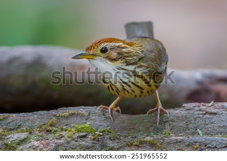 Close up of  Puff-throated babbler( Pellorneum albiventre ) in nature at Khaoyai national park,Thailand - stock photo
