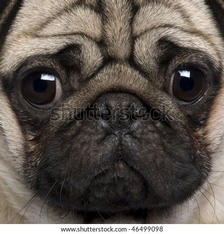 Close-up of Pug, 2 Years old - stock photo