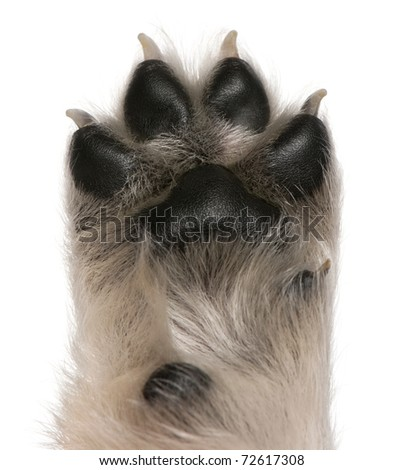 Close-up of puppy's paw, 4 weeks old, in front of white background - stock photo