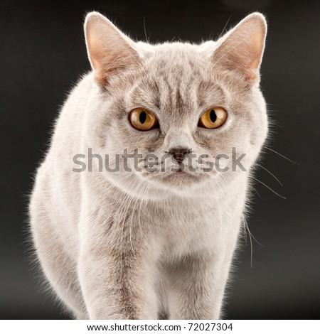 Close-up of purebred walking little tabby kitten - stock photo