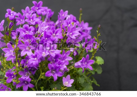 Close up of purple Campanula Portenschlagiana flowers on dark background. The genus is distributed almost worldwide from arctic to temperate regions of the Northern Hemisphere. Copyspace - stock photo