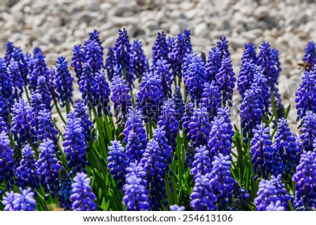 Close up of purple grape hyacinth flowers - stock photo