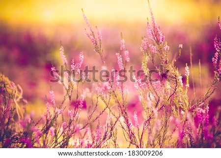 Close up of purple heather - stock photo