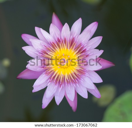Close-up of purple lotus floating on striking background blur