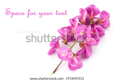 close up of purple sophora flower isolated on white background with sample text