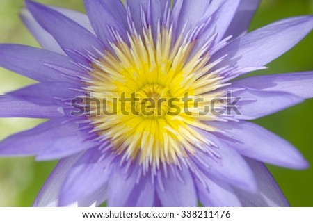 Close up of purple water lily flower blooming. - stock photo
